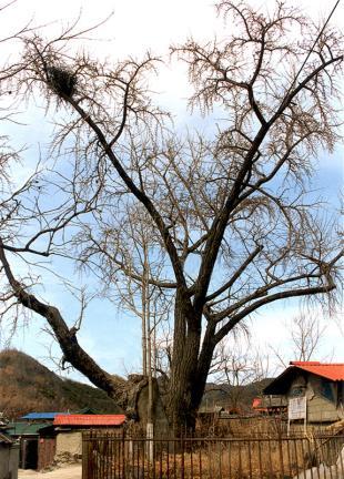 송리동은행나무