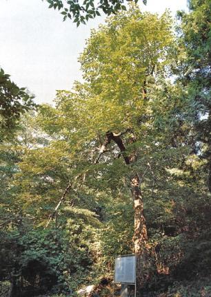 고성북평리찰피나무