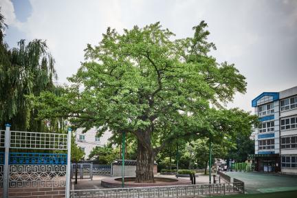 시도기념물 11호_계산동 은행나무_정측면