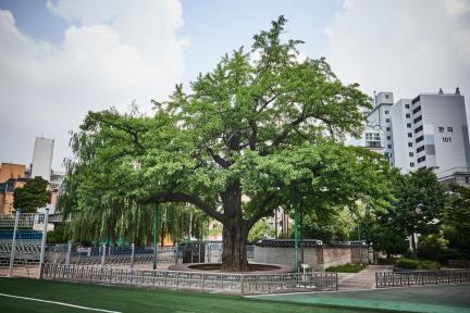 시도기념물 11호_계산동 은행나무_측면