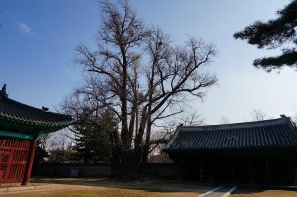 성균관 대성전 은행나무