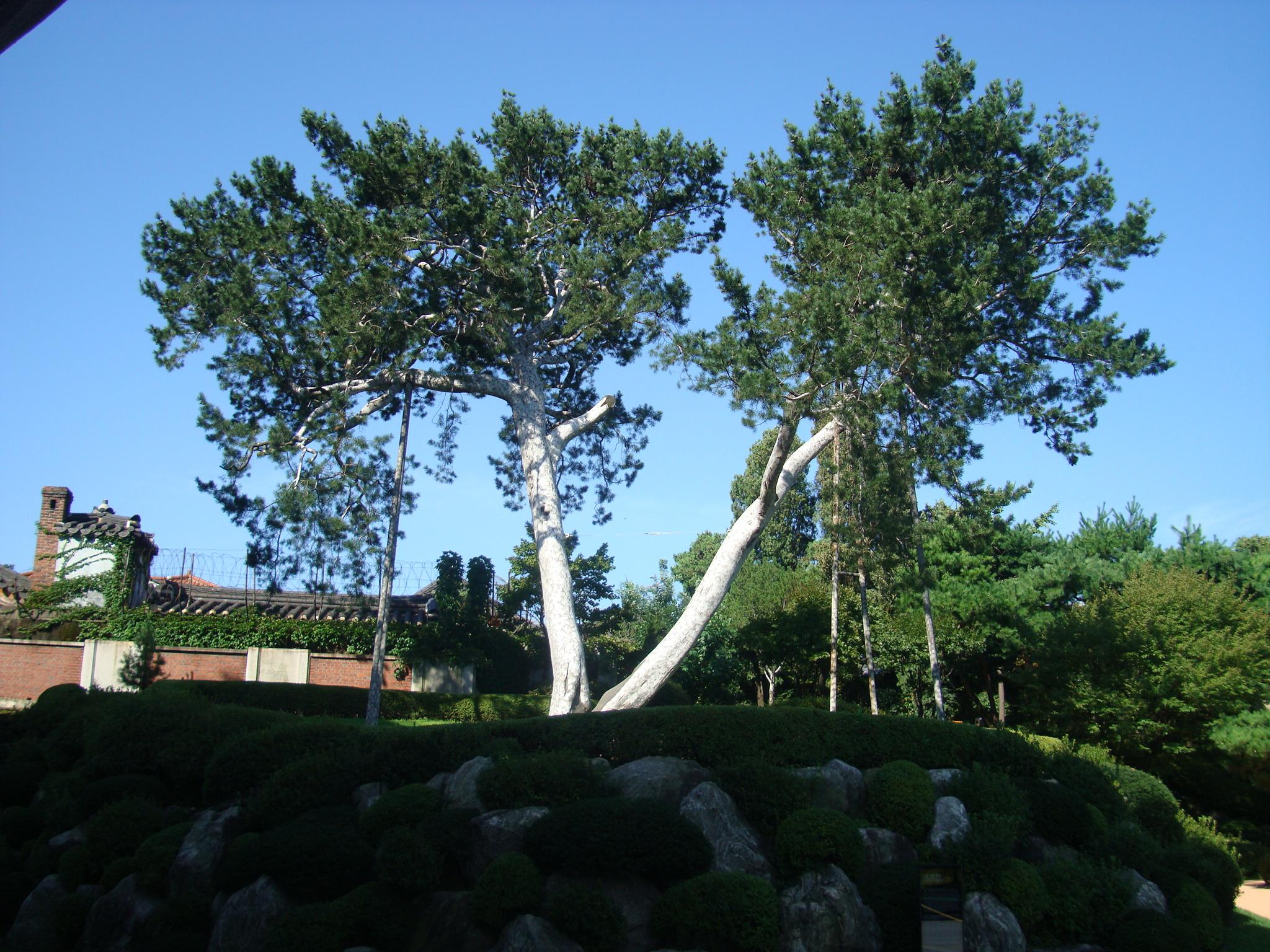 Lacebark Pine of Jae-dong, Seoul