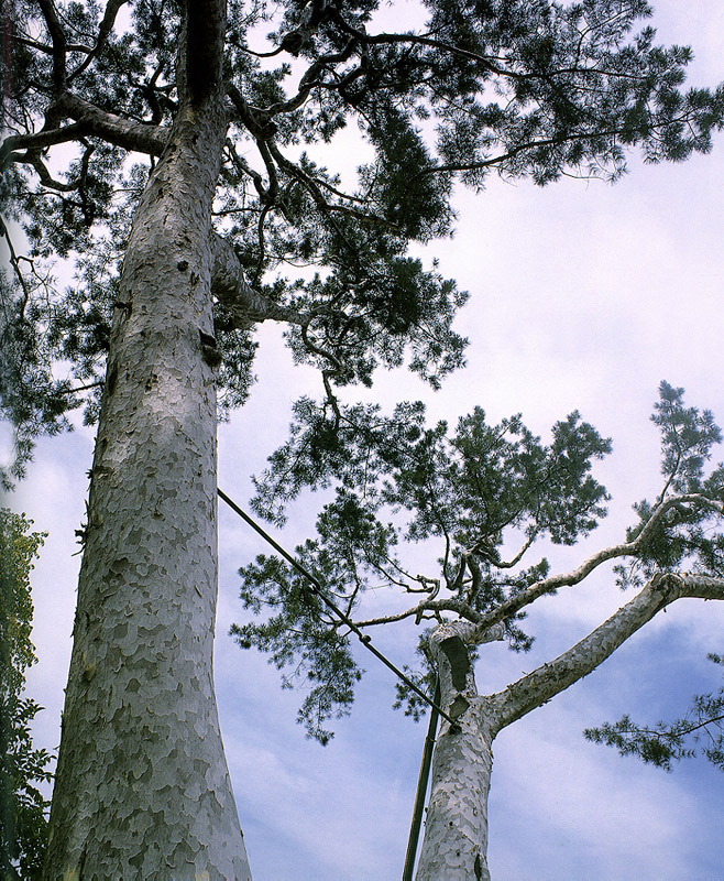Lacebark pine in Jae-dong, Seoul