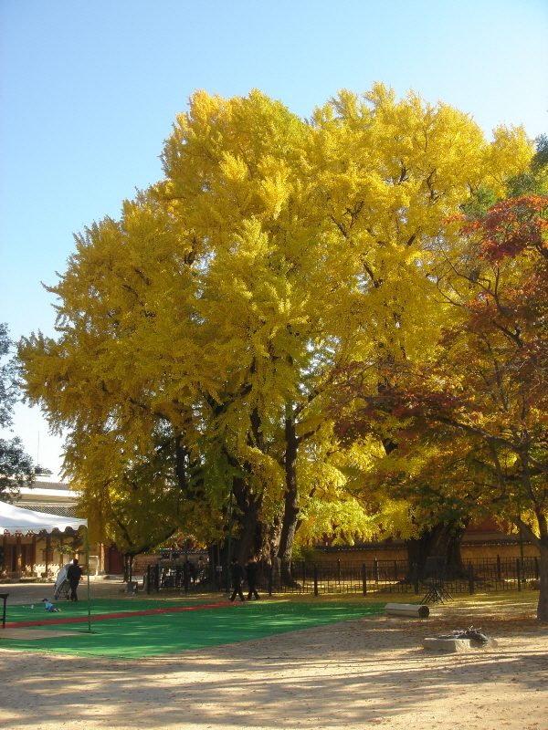 Ginkgo Tree of Munmyo Confucian Shrine, Seoul