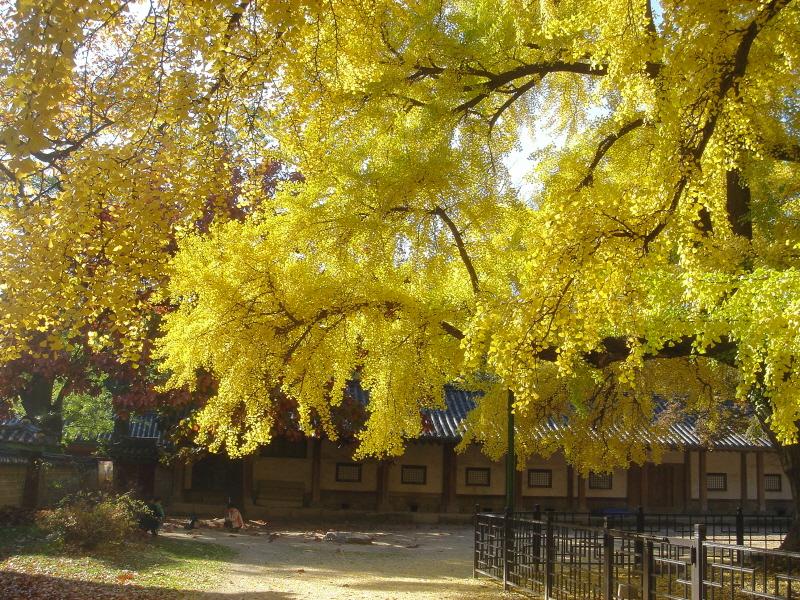 Ginkgo Tree of Munmyo Confucian Shrine, Seoul