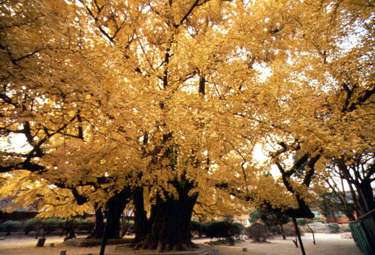 Gingko tree in the Confucian shrine of Seoul