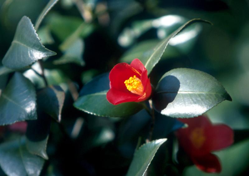 camellia in Daecheongdo island