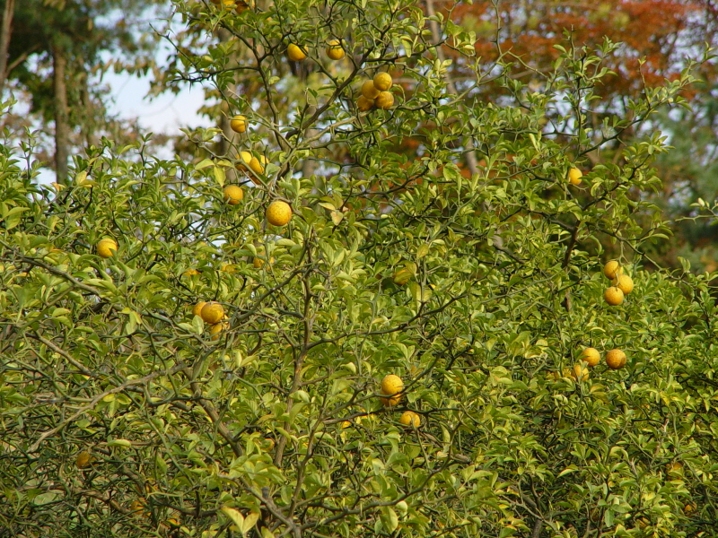 Trifoliate Orange of Gapgot-ri, Ganghwa