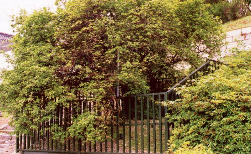 Poncirus tree in Gapgot-ri, Ganghwa