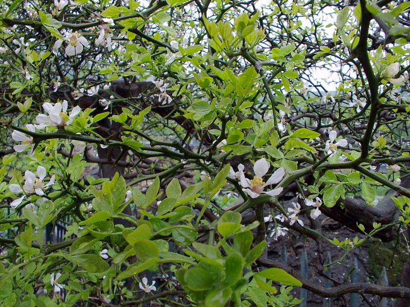 Trifoliate Orange of Sagi-ri, Ganghwa