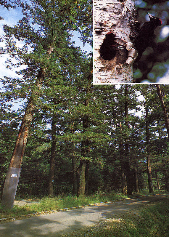 Habitat of the white-bellied black woodpecker in Gwangneung
