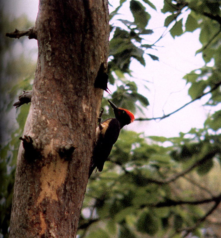A Cock and a young white-bellied black woodpecker