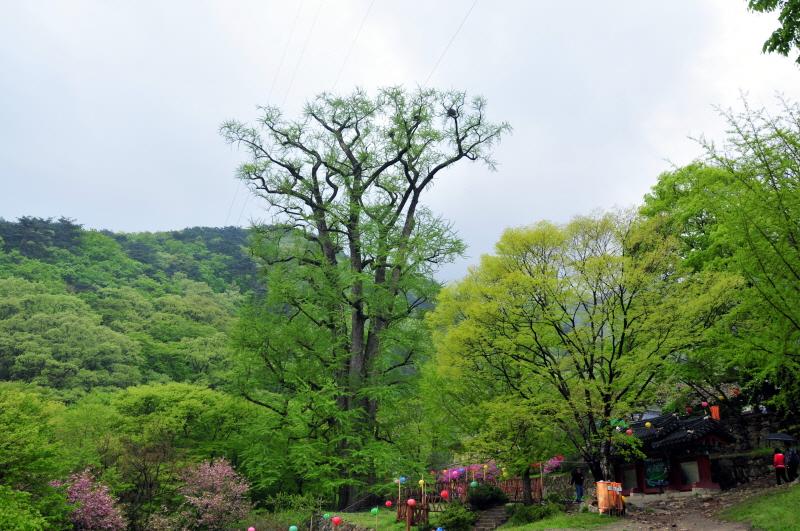 Ginkgo Tree of Yongmunsa Temple, Yangpyeong