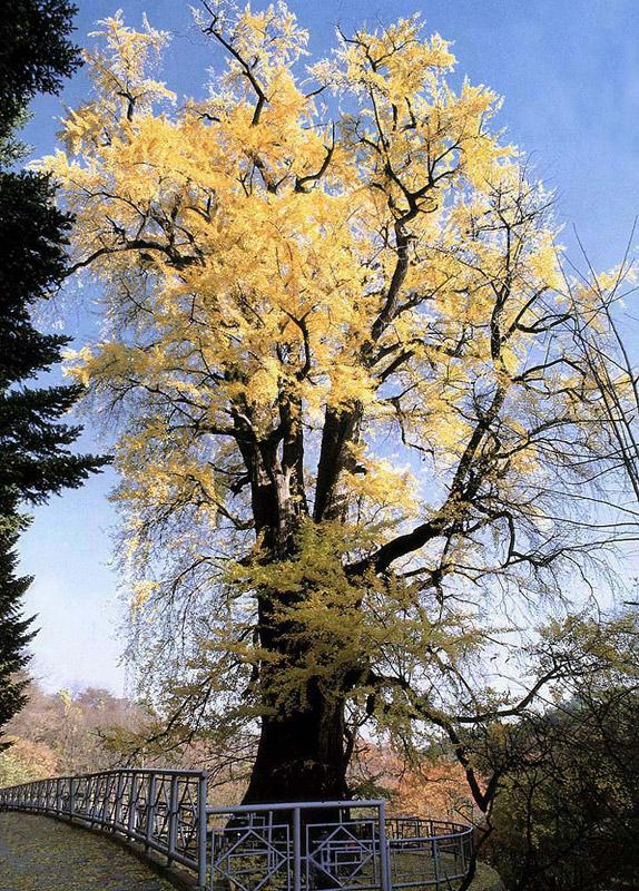 Gingko tree in Yongmunsa Temple