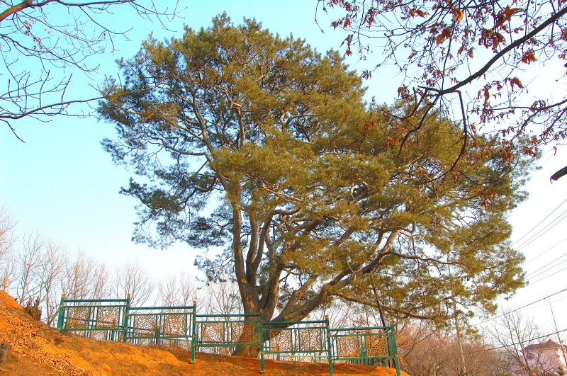 Lacebark Pine of Songpo, Goyang