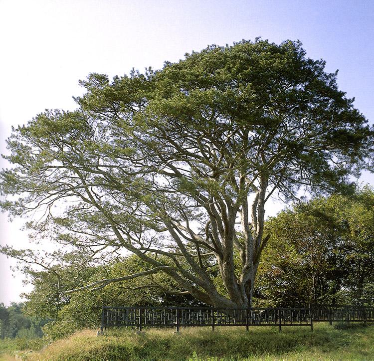 Lacebark pine in Songpo
