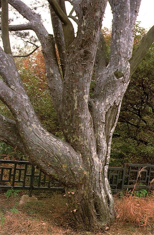 Trunk of lacebark pine