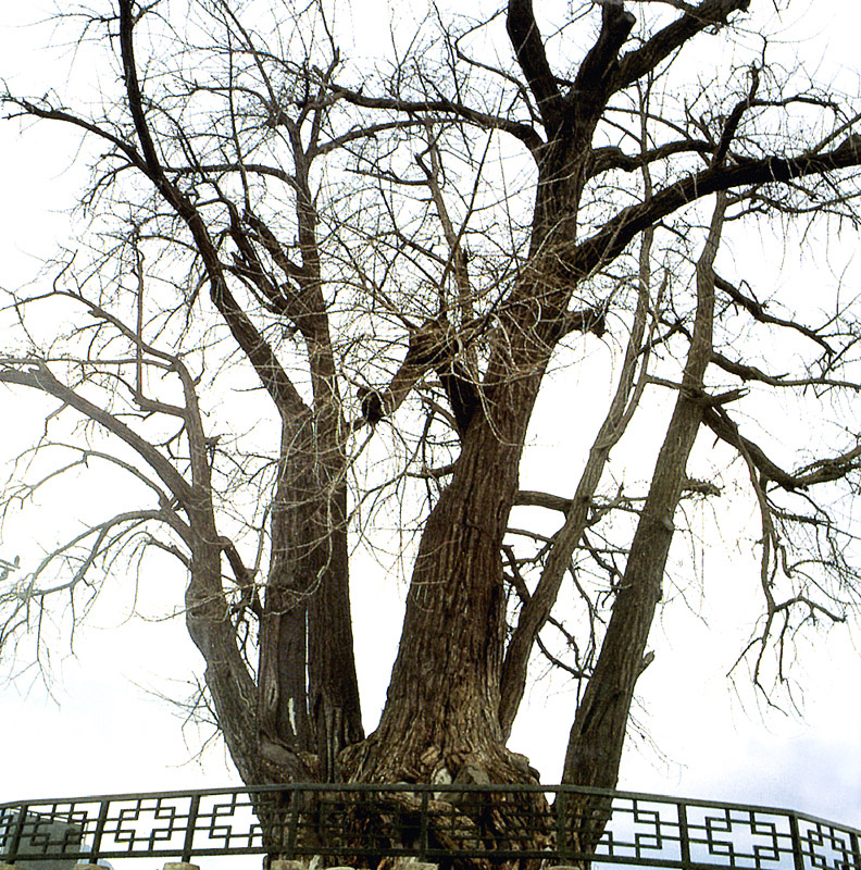 Gingko tree in Yeongwol
