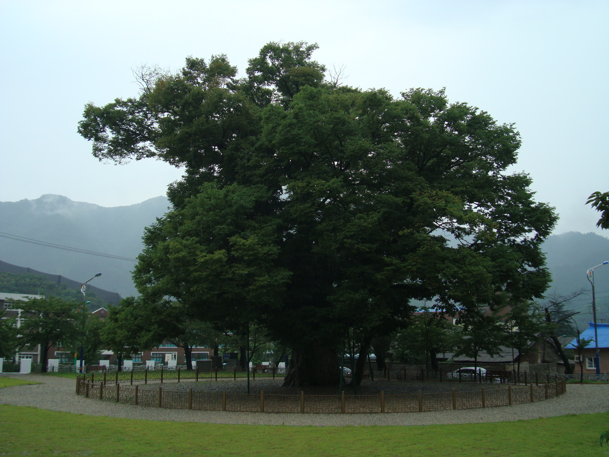 Long-leaf Zelkova of Dogye-ri, Samcheok