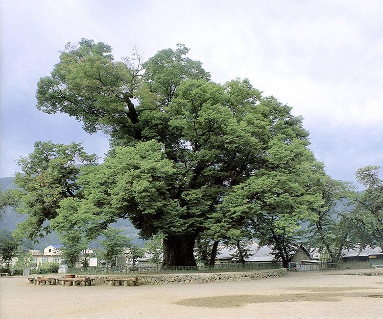 Long-leafed zelkova in Dogye-eup, Samcheok