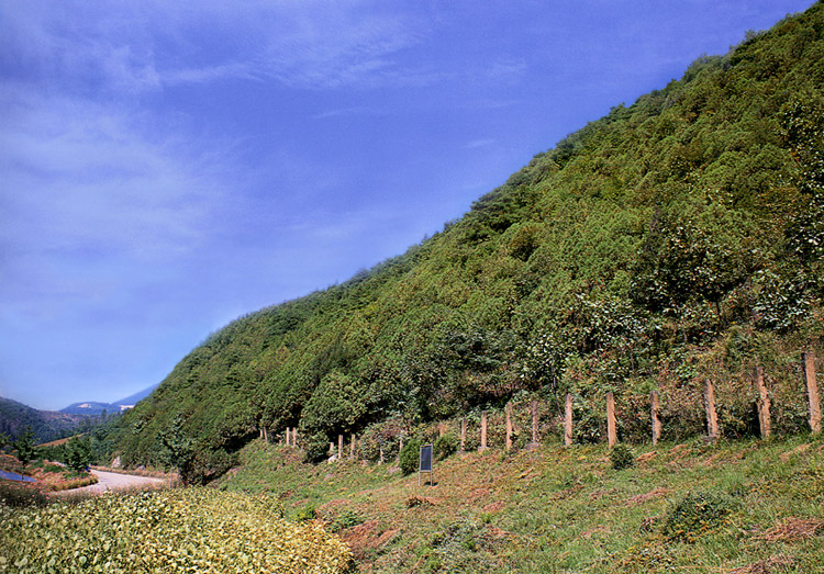 Forest of oriental arborvitae in Yeongcheon-ri