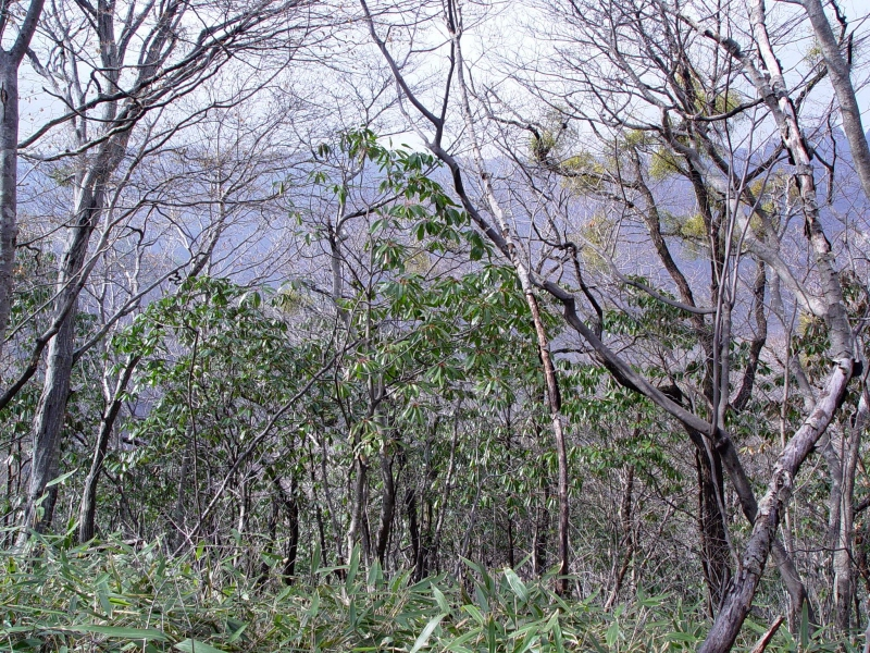 Colony of Macropodous Daphniphyllum on Naejangsan Mountain