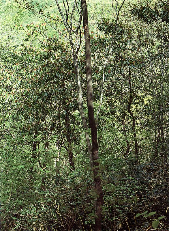 Colony of laurel tree in Mt.Naejangsan