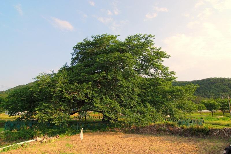 Muku Tree of Sadang-ri, Gangjin