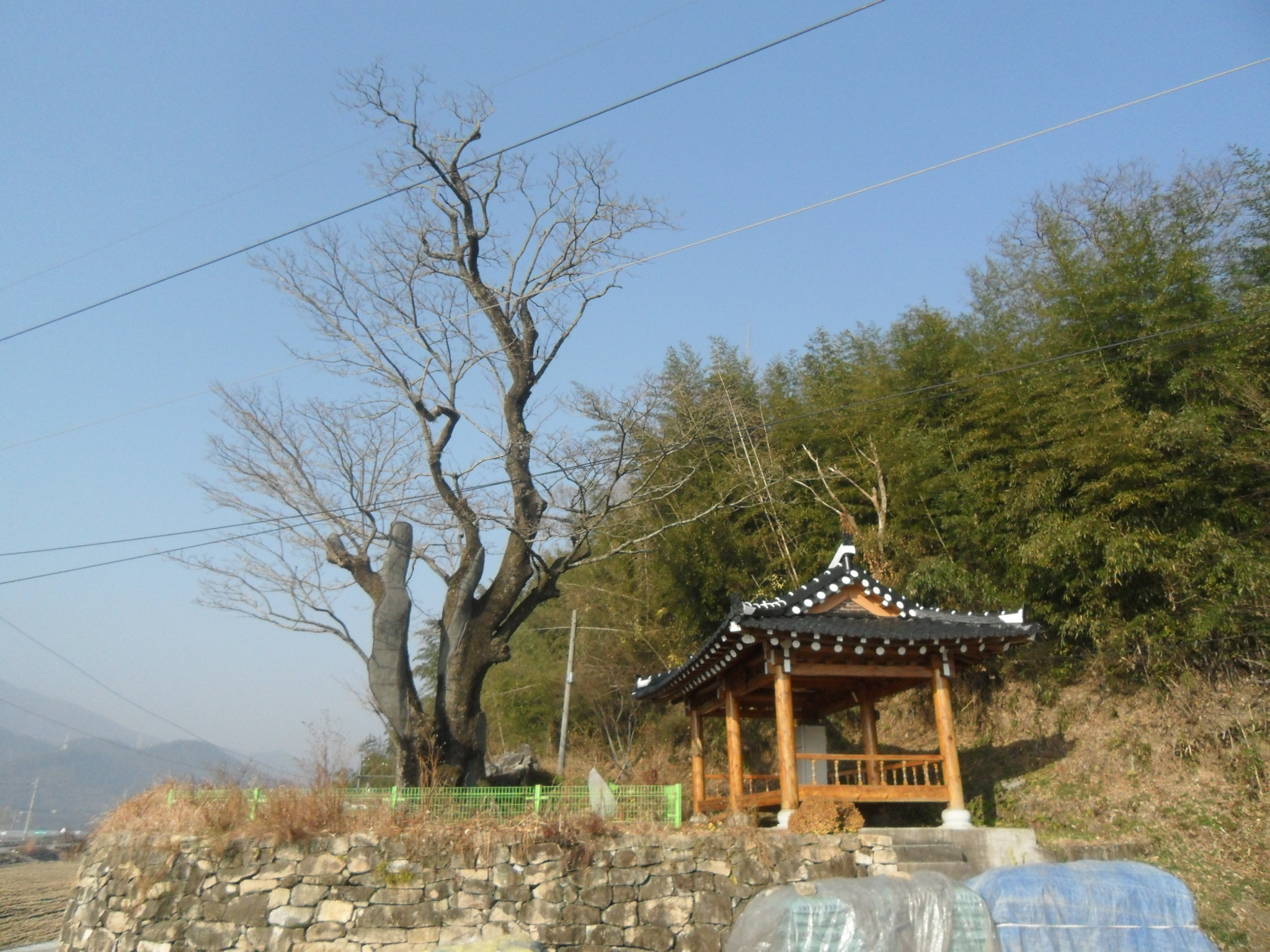 Retusa Fringe Tree of Pyeongjung-ri, Suncheon