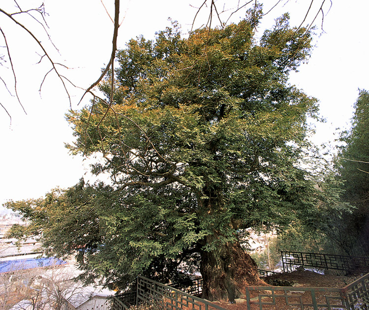 Torreya tree in Byeongyeong-myeon
