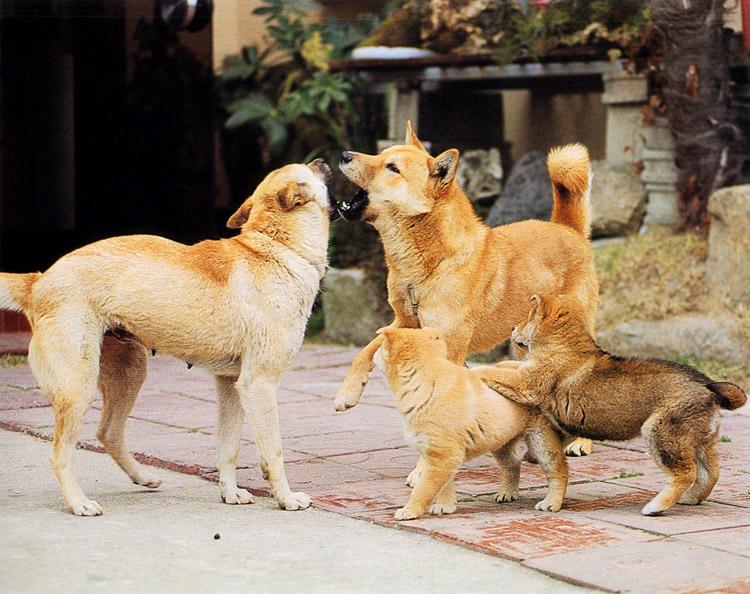 Jindo dog in Jindo island