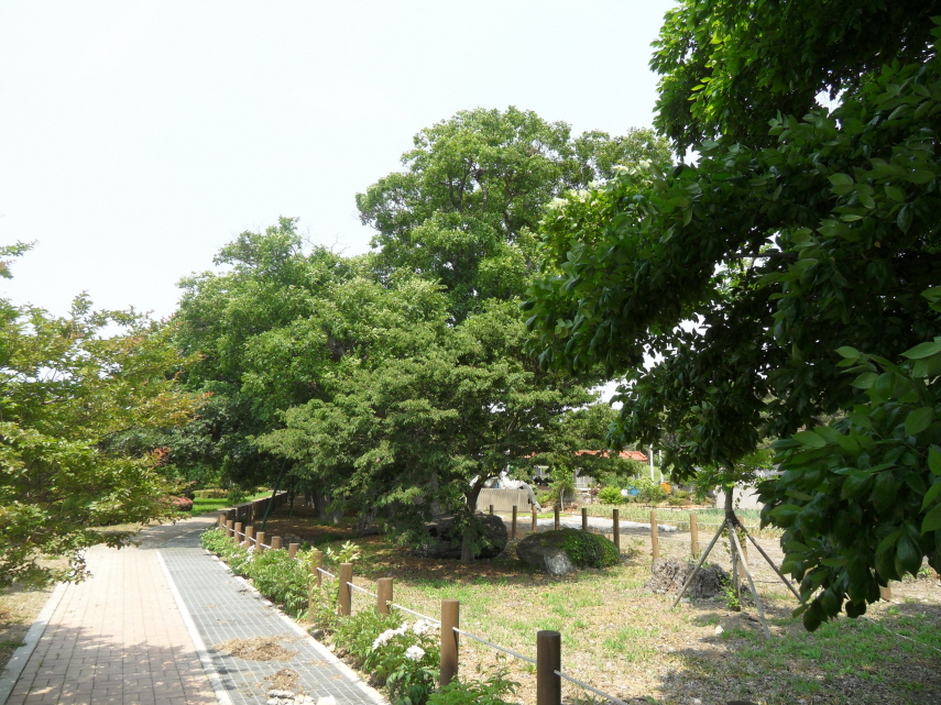 Forest of Japanese Hackberries and Yeddo Hornbeams in Cheongcheon-ri, Muan