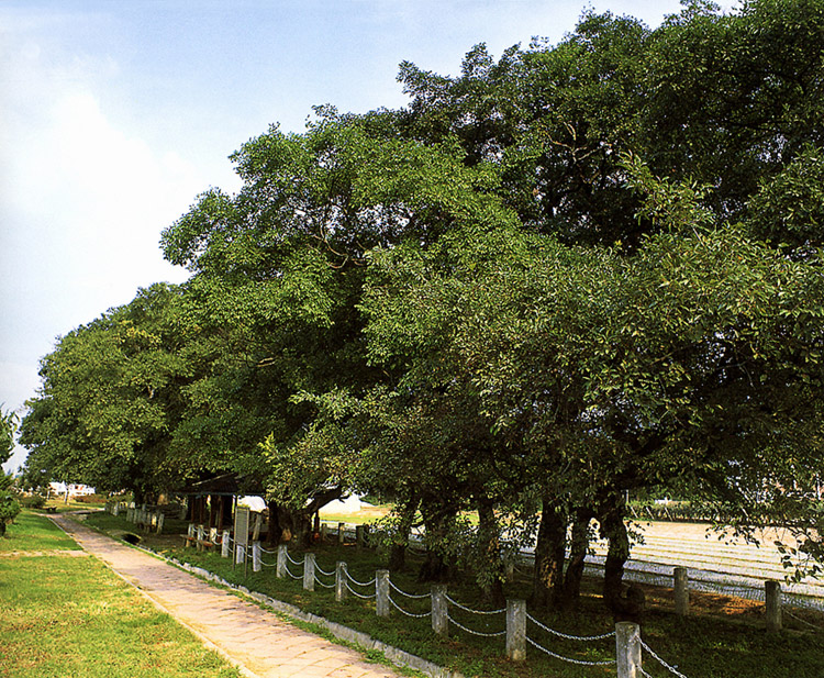 The Forest of hackberry and hornbeam in Cheongcheon-ri, Muan