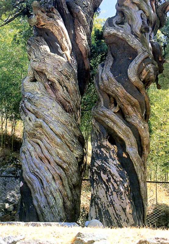 Trunks of pair of chinese junipers in Songgwangsa Temple