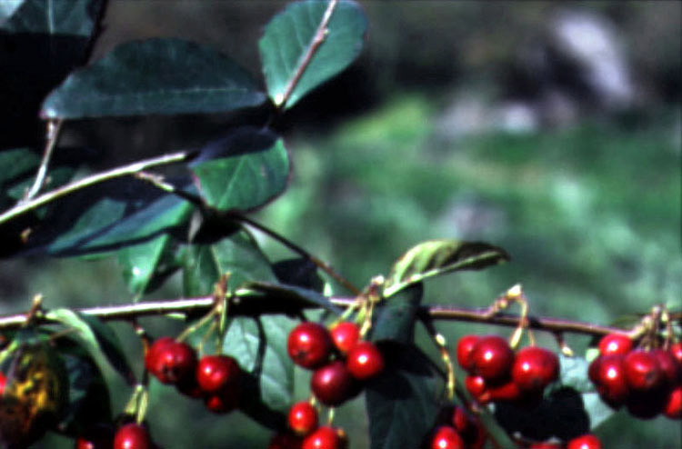 The fruit of cotoneaster wilsonil
