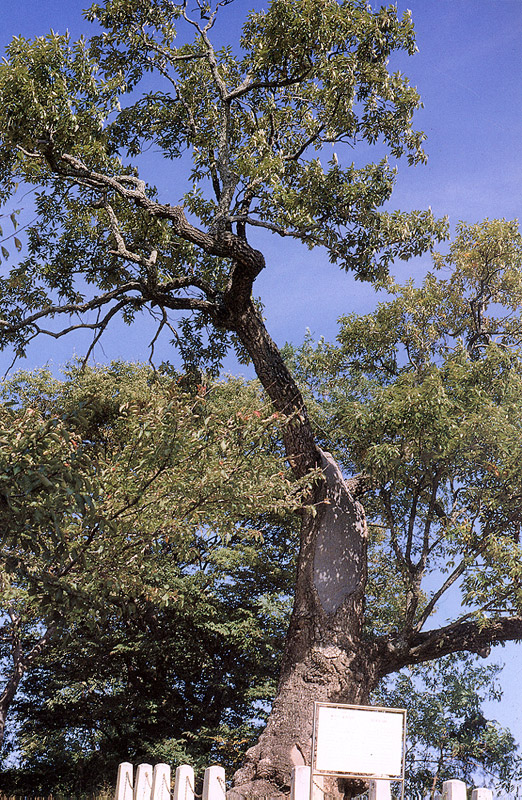 Asian cork-oak tree in Uljin
