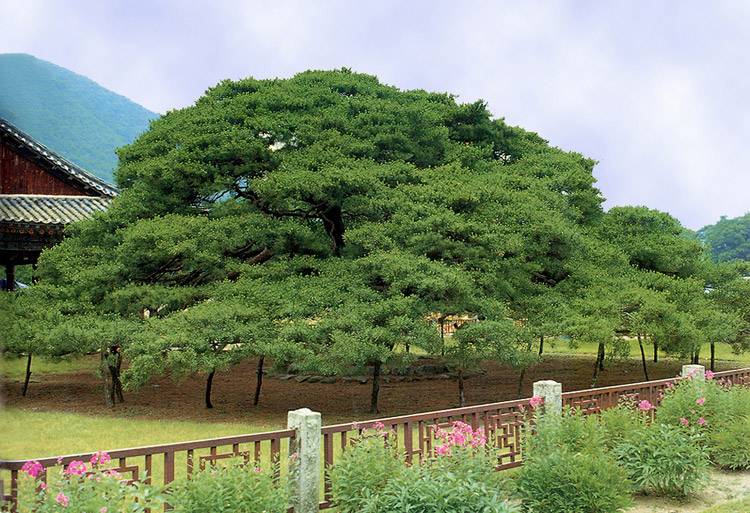Weeping red pine in Unmunsa Temple