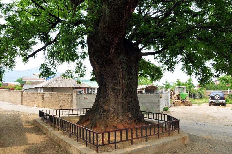 월성 육통리 회화나무