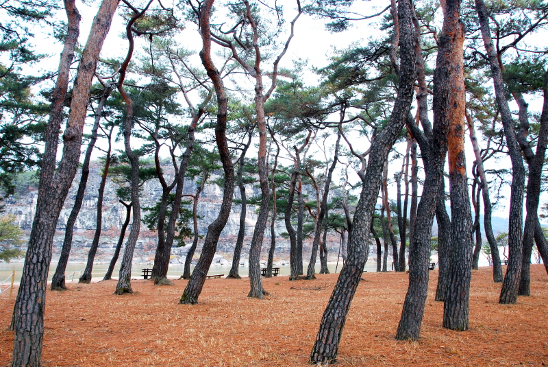 Pinewoods of Mansongjeong Pavilion in Hahoe Village, Andong