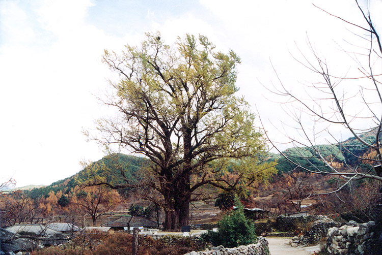 Gingko tree in Ungok-ri, Hamyang