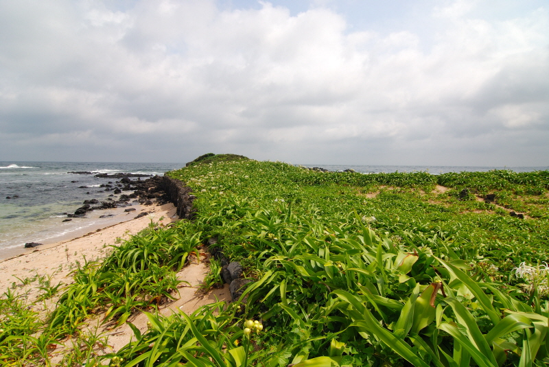 Natural Habitat of Sea Crinum on Tokkiseom Island, Jeju