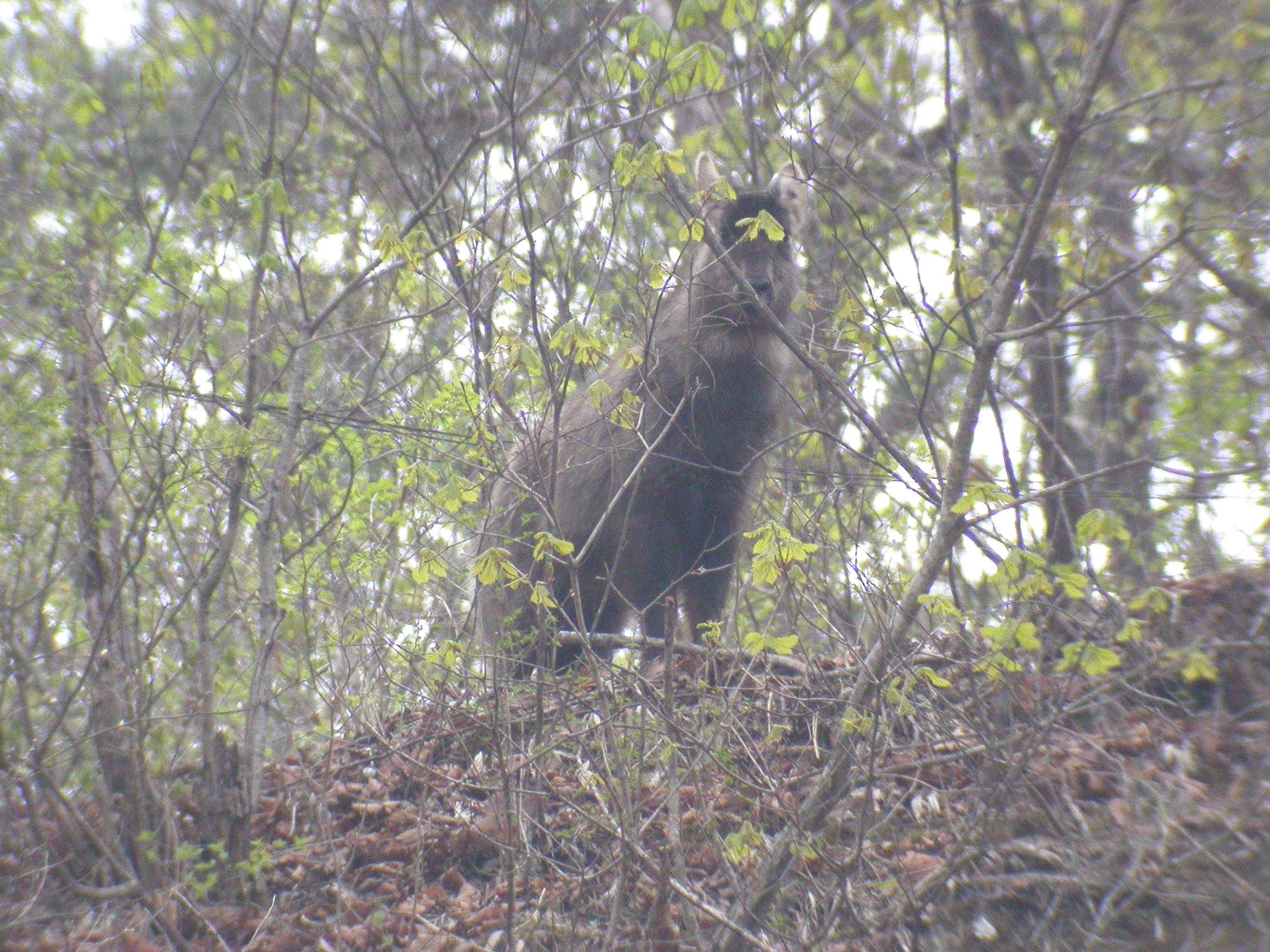 Long-tailed Goral (Naemorhedus caudatus)