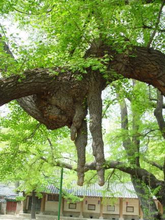 서울 문묘 은행나무