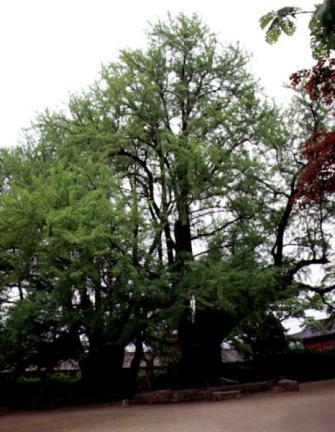서울문묘의은행나무전경