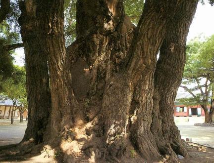 서울문묘의은행나무