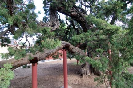 창덕궁 향나무