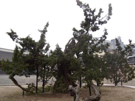 창덕궁 향나무(촬영:문화재청)