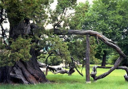 창덕궁의향나무