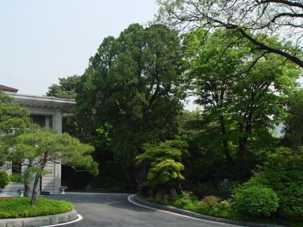 서울 삼청동 측백나무