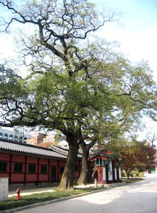 창덕궁의회화나무